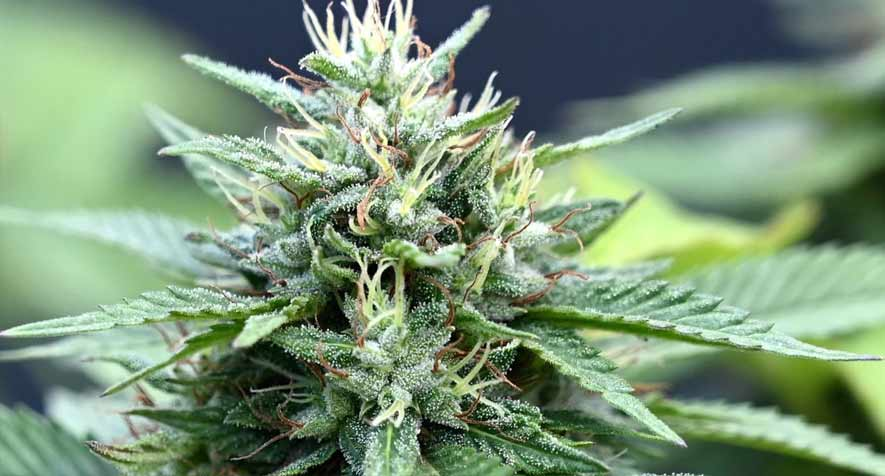 7 Tips on Growing Bigger Buds Naturally