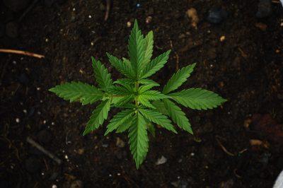 Growing Organic Marijuana